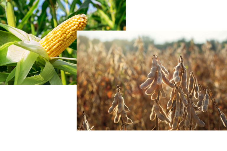 Corn Soybean Picture for HomePage